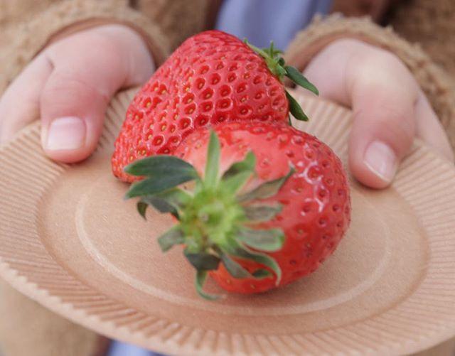 @634asaichi #ムサシ朝市おっきな苺の食べ比べ紅ほっぺと、、、なんやったかな、、、 #苺#苺の食べ比べ#苺の季節#美味しい苺#ムサシオープンデパート朝市#オープンデパート朝市#春