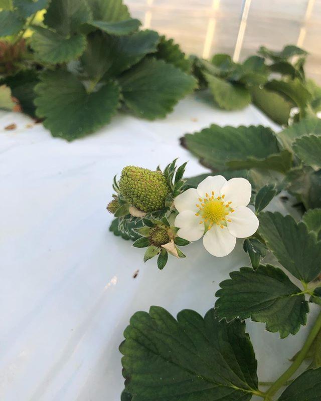 いつもありがとうございます。笠木ファームさん今日も美味しい取りに伺いました。5月末頃に笠木さんにご協力いただき楽しい事を考えてます。お楽しみに。#西区#押部谷#苺 #苺農家さん#笠木ファーム#美味しい苺 #ありがとうございます#苺スイーツ #焼き菓子#苺のスコーン #苺のマフィン