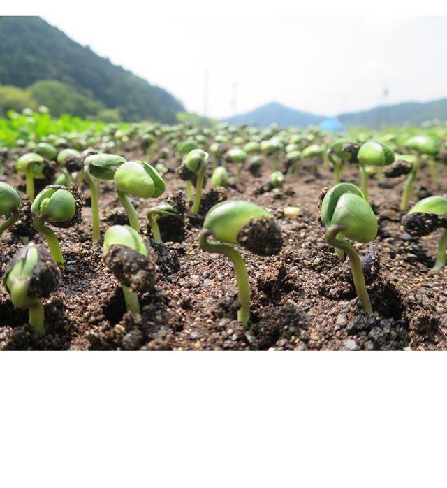 丹波篠山の黒豆オーナーになりました。一年間よろしくお願い申し上げます。6/15に種まきをしてその6日後に芽を出した写真を送っていただきました。なんか可愛い。#丹波篠山#黒枝豆#枝豆オーナー