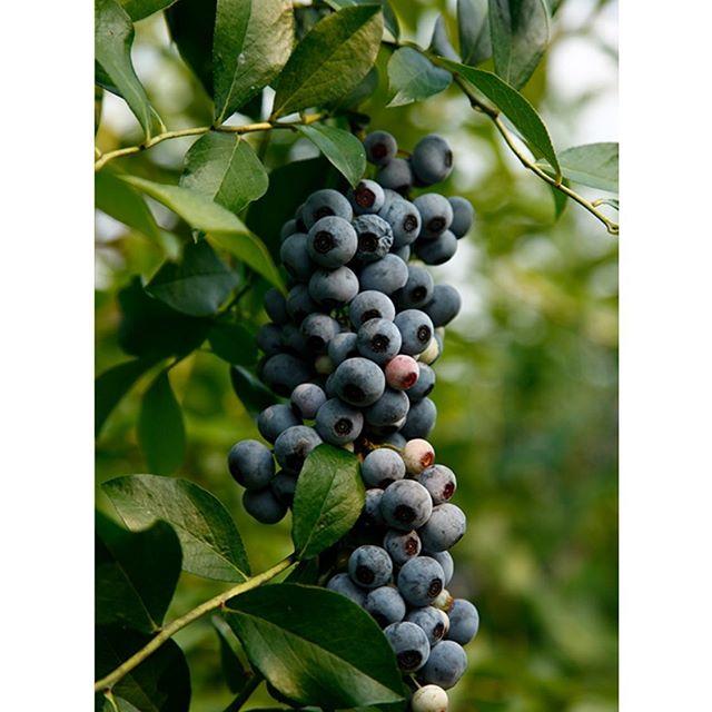 有機JAS認定丹波市の大粒ブルーベリー予約しました。画像お借りしております。大粒だけど味が薄くなる事はなくすっきりとした味わいだそう。楽しみです。我が家の鉢植えブルーベリーとは比べ物にならないな。#ブルーベリー#有機ブルーベリー#ジャム作り #シャム部 #ジャム部作るかな #ブルーベリージャム#季節の#ブルーベリーのお菓子#瓶入りチーズケーキ