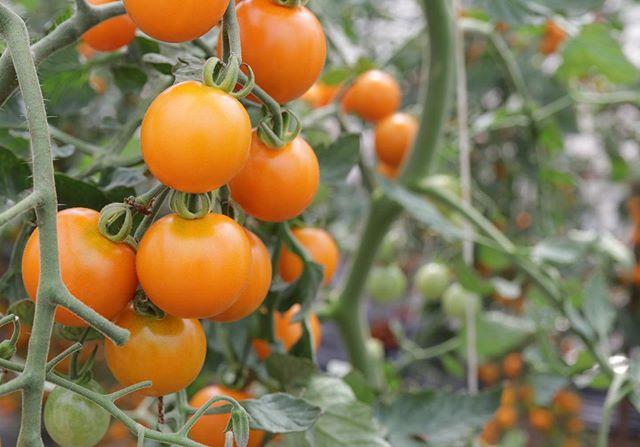 おはようございます🌞いよいよ明日は フェアレディマルシェです。メニューが決まりました。シフォンケーキプレーン黒豆きな粉麻炭ジンジャーシロップチョコチップドライトマト(新作) 昨日いただいた新鮮なトマトを使って。ジャムを食べるためのチーズケーキ桃マンゴーすもも柑橘ドリンクは水出しコーヒーをご用意します!よろしくお願い申し上げます。#ジャム #瓶入りチーズケーキ #ジャム部#ジャムを食べるためのチーズケーキ#ジャム部2019#シフォンケーキ#ベーキングパウダー不使用#卵の力#北坂養鶏場#淡路島#pieces焼き菓子